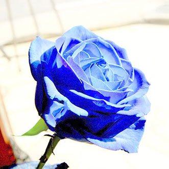 Синие розы поштучно